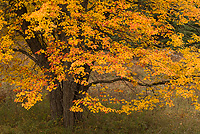 Maple Tree, Autumn, Northern Michigan
