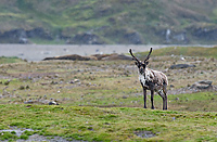 Reindeer, (Rangifer tarandus), Fortuna Bay, South Georgia Island