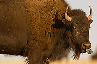 American Bison, (Bison bison), Badlands National Park, South Dakota