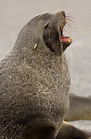 Antarctic Fur Seal, Adult Male