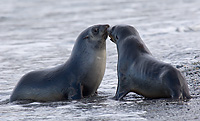 Antarctic Fur Seal, Sub-adults Sparring