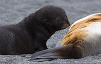Antarctic Fur Seal, Female with Pup