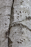 Black Bear Claw Marks on Beech Tree