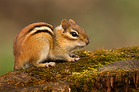 Eastern Chipmunk, (Tamias striatus), Spring, Michigan