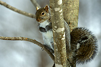 Eastern Gray Squirrel, Winter