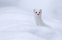 Short-tailed Weasel, Hunting Small Rodents in Snow