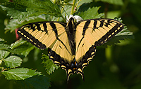 Canadian Tiger Swallowtail Butterfly, (Papilio canadensis), Summer, Michigan