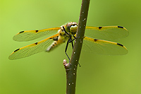 Four-spotted Skimmer Dragonfly (Libellula quadrimaculata)