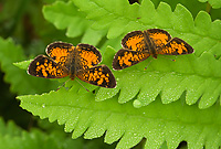 Northern Pearl Crescent Butterflies, Males, (Phyciodes selenis), Summer, Michigan