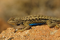 Western Fence Lizard, (Sceloporus occidentalis), Capitol Reef National Monument, Utah