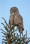 Great Gray Owl, page 64